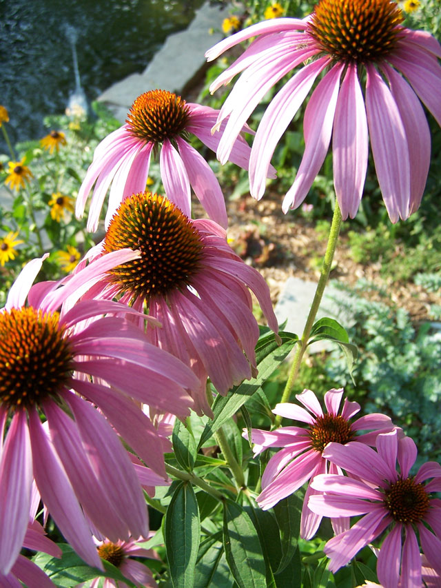 Backyard Cone Flowers